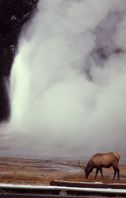 Elk & Old Faithful Picture