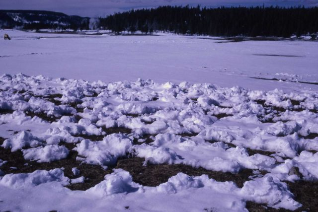 Elk winter grazing in Upper Geyser Basin Picture