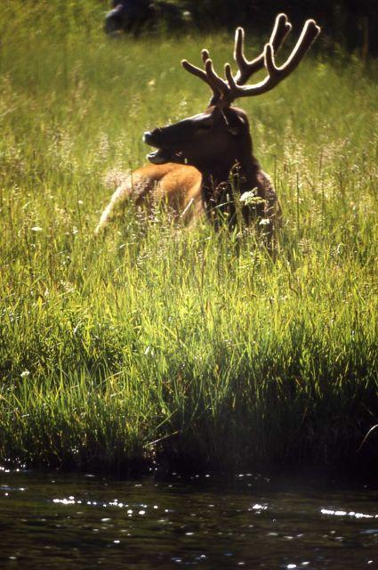 Bull elk in velvet Picture