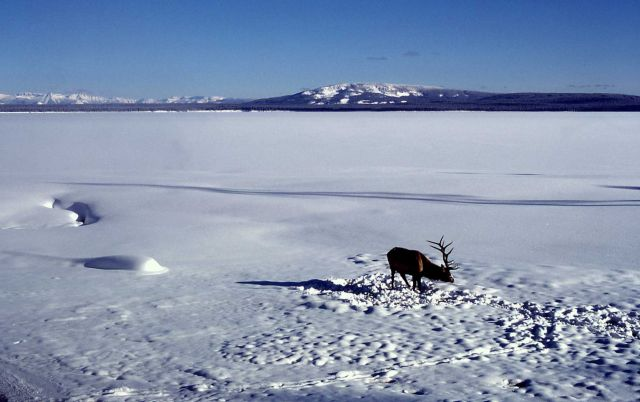 Bull elk at Yellowstone Lake near West Thumb Picture