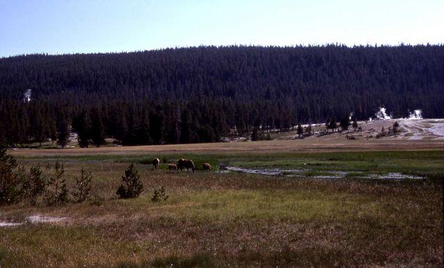 Elk grazing in Upper Geyser Basin Picture