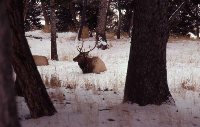 Bull elk in trees in snow Picture