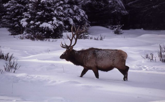 Bull elk in snow Picture