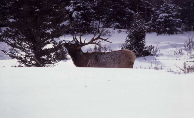 Bull elk in snow Picture