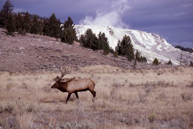 Bull elk near Mammoth Terraces Picture