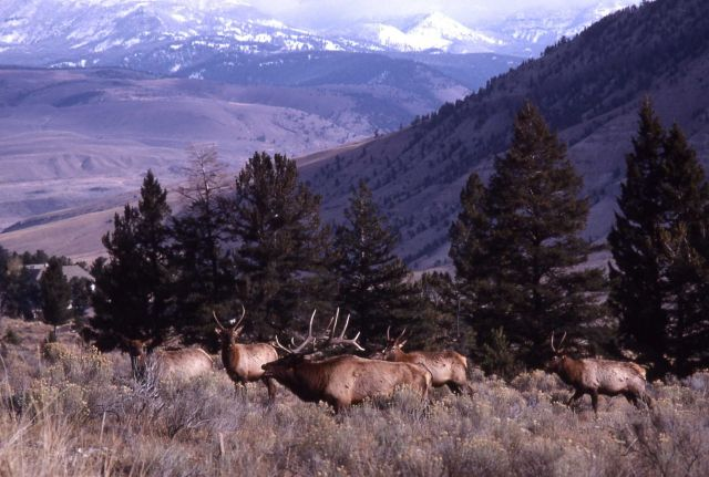 Bull elk & mountains surrounding Gardiner Picture