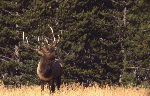 Bull elk bugling Picture