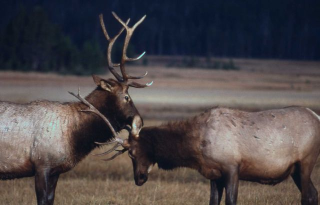 Two bull elk head to head but not sparring Picture