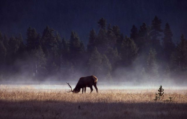 Bull elk grazing in early morning steam Picture