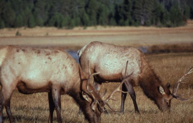 Bull elk grazing side by side Picture