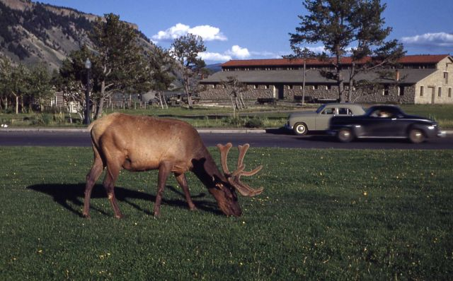 Bull elk grazing on lawn near Mammoth clinic Picture