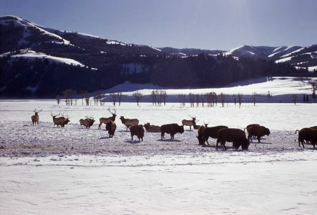 Bison & elk in snow Picture