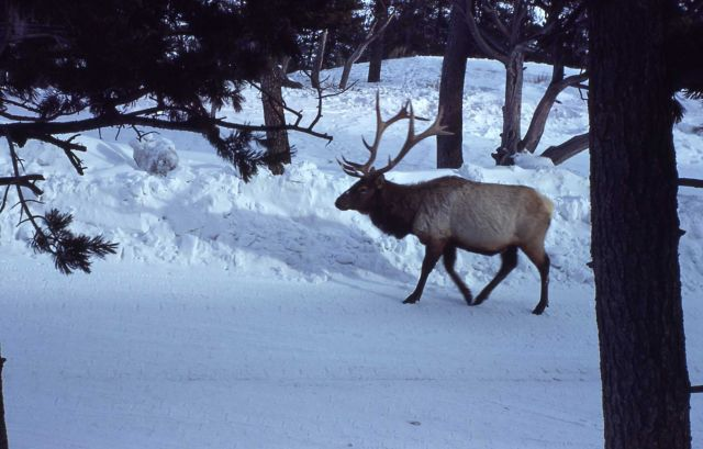 Bull elk on road in winter Picture