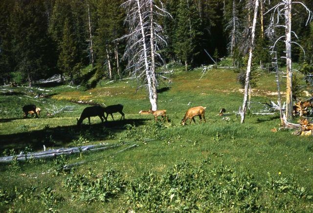 Elk near Roaring Mountain Picture