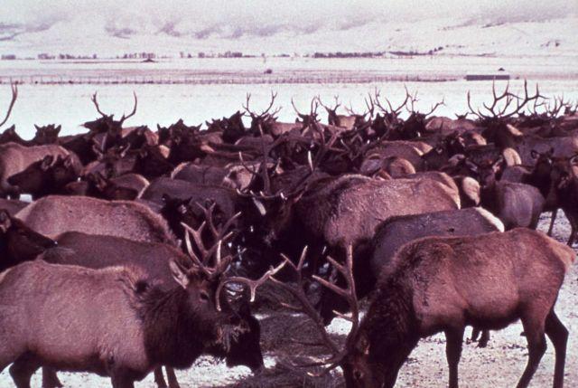 Elk feeding - Jackson Elk Refuge Picture