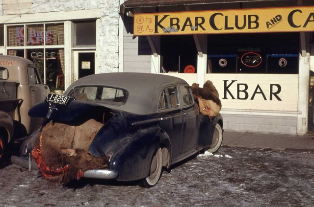 Elk kill - streets of Gardiner, Montana Picture