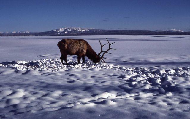 Bull elk on frozen West Thumb Picture