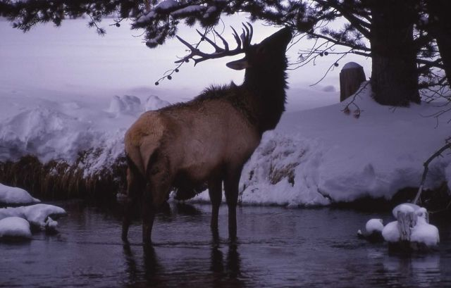Bull elk feeding on tree while standing in water in winter Picture