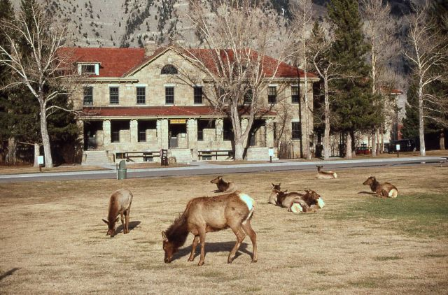 Elk on Parade ground with Albright Visitor Center in background Picture