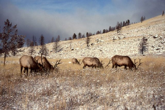 Five bull elk near Lava Creek Picture