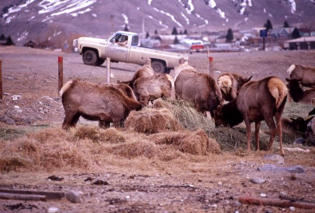 Elk being fed hay in Gardiner, Montana Picture