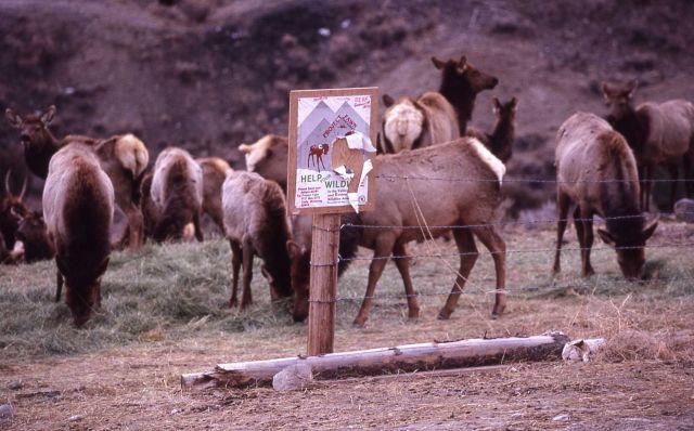 Elk being fed hay in Gardiner, Montana Picture
