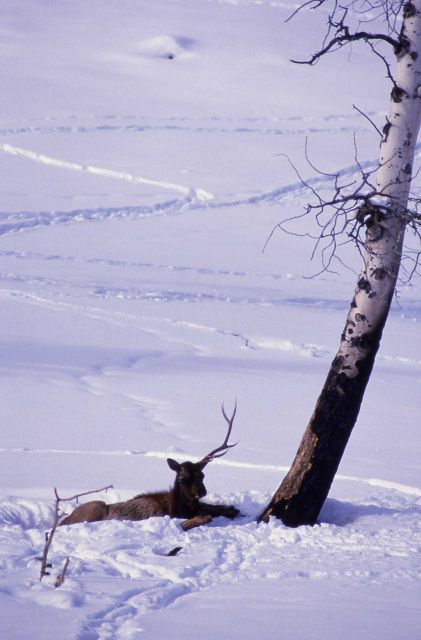 Bull elk with broken pedicel laying in snow near Tower Junction Picture