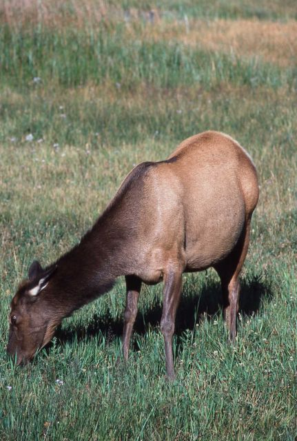 Cow elk grazing Picture