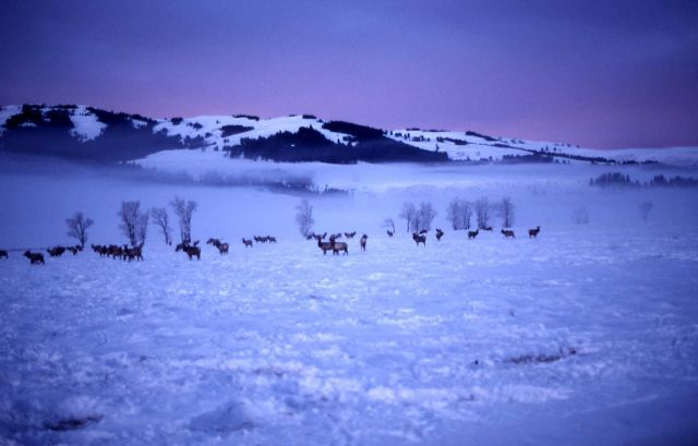 Elk herd in Lamar Valley Picture