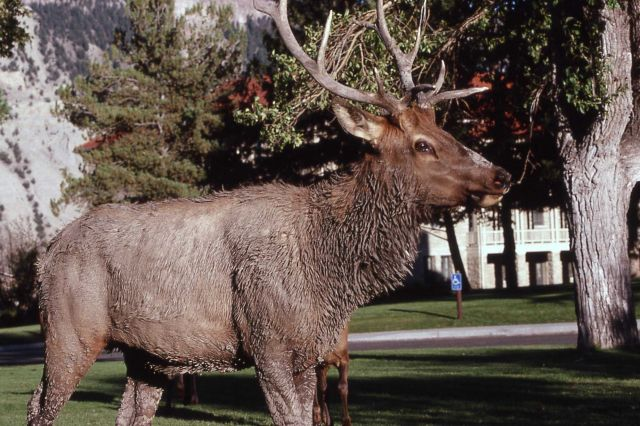 Close up of bull elk on Mammoth Hot Springs grounds Picture