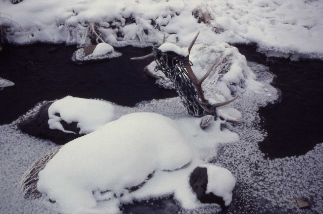 Two dead bull elk entangled in cargo net in Blacktail Deer Creek Picture