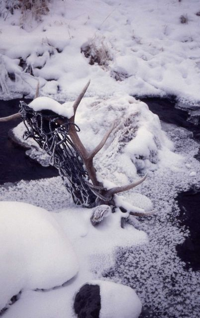 Two dead bull elk entangled in cargo net in Blacktail Deer Creek Picture