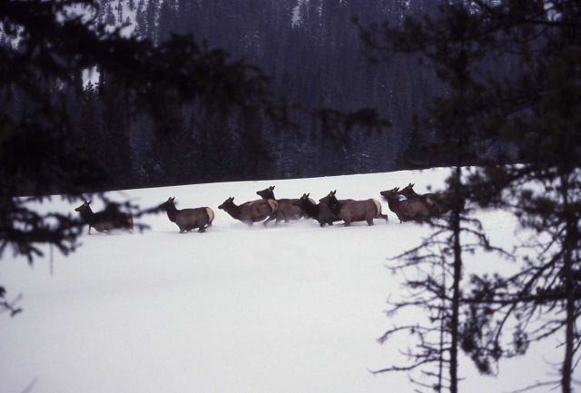 Elk in deep snow at Soda Butte drainage Picture