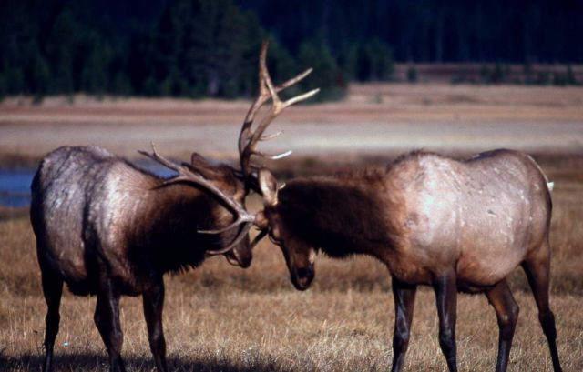 Two bull elk sparring Picture