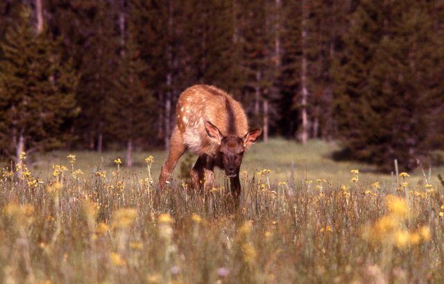 Elk calf Picture