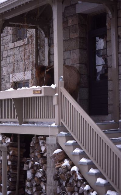 Cow elk browsing at residence in Mammoth Hot Springs Picture