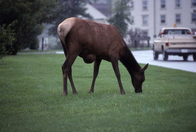 Cow elk with hernia at Mammoth Hot Springs Picture
