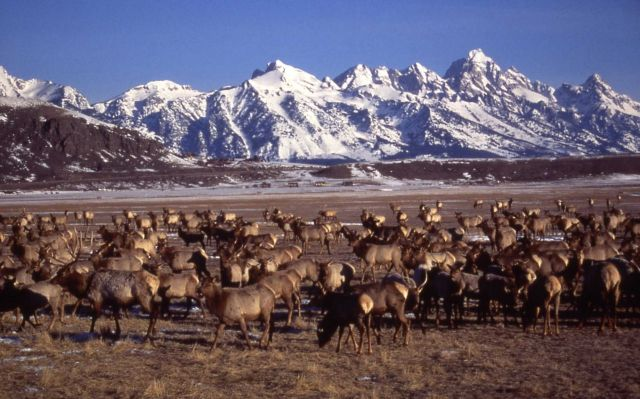Elk feeding at National Elk Refuge in Jackson, Wyoming Picture