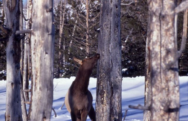 Cow elk eating lodgepole pine bark in winter in the Old Faithful area Picture