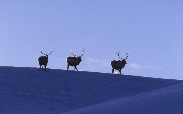 Bull elk Lamar Valley in winter Picture