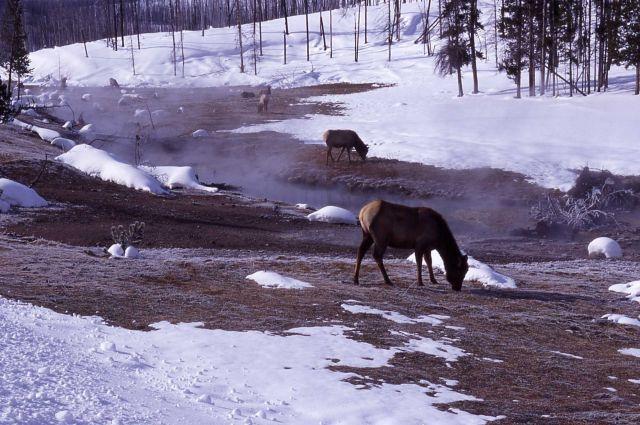 Elk near Roaring Mountain in winter Picture