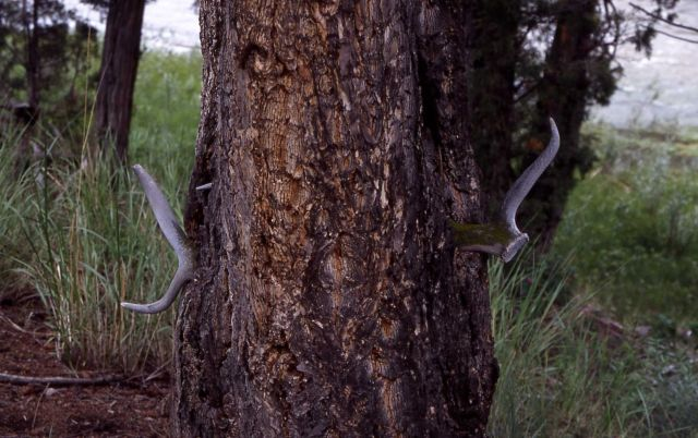 Antler that tree trunk grew around near Yellowstone River trail Picture