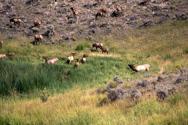 Elk rut near Mammoth Hot Springs Picture