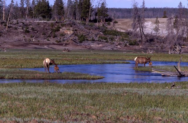 Cow elk & calves in the Gibbon River Picture