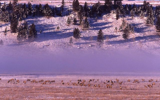 Elk herd in winter in Lamar Valley Picture