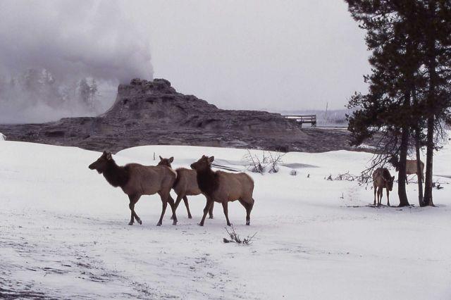 Cow elk at Castle Geyser Picture
