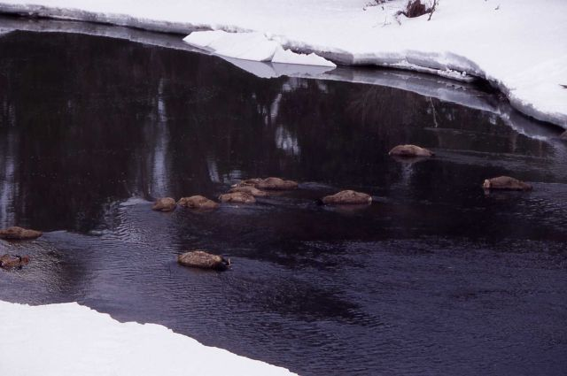 Elk carcasses in winter in Lamar River - 14 fell through ice Picture