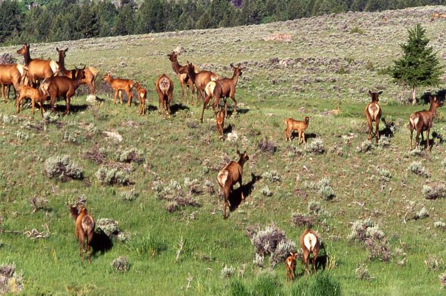 Elk herd near Mammoth Hot Springs Picture