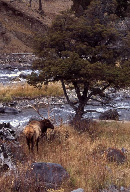 Bull elk in Gardner Canyon Picture
