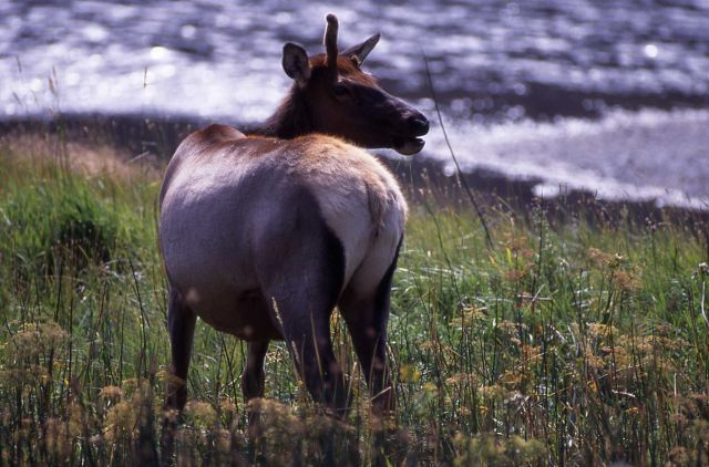 Cow elk with one spike & one stub near Madison area Picture